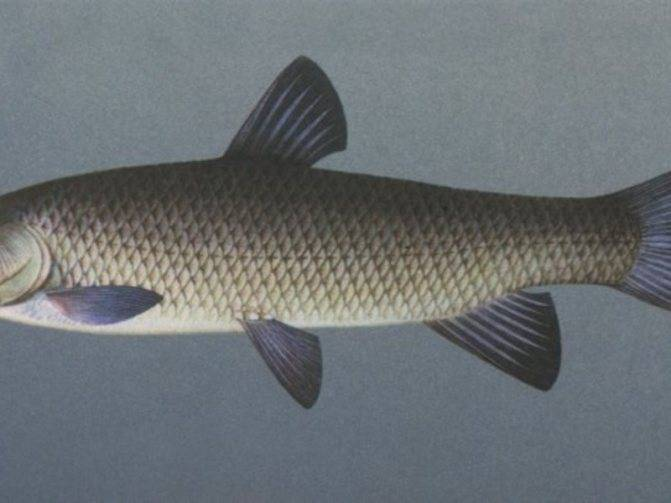Рыба амур белый: описание, образ жизни и особенности ловли
