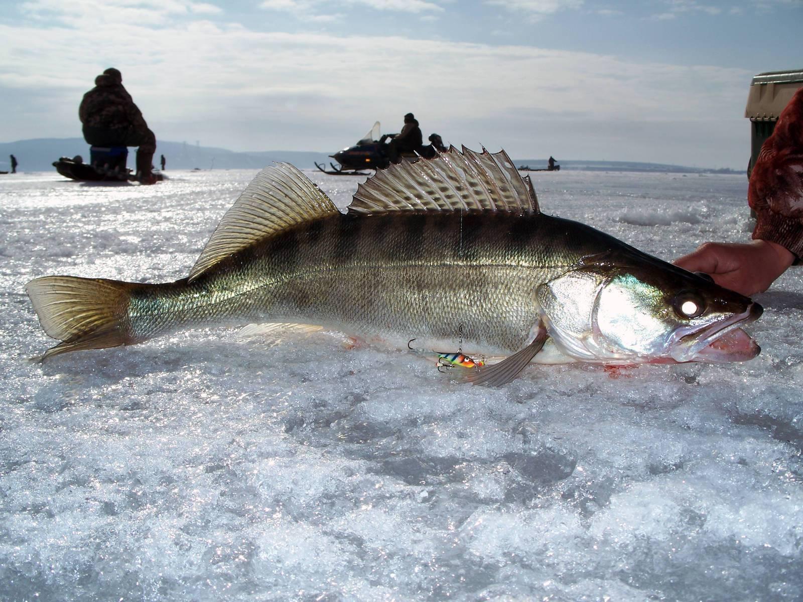 Как ловить судака зимой на балансиры