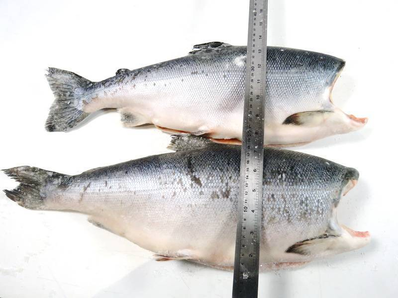 Полезные свойства красной рыбы кижуч, её отличительные черты с фото; рецепты приготовления этого вида рыбы