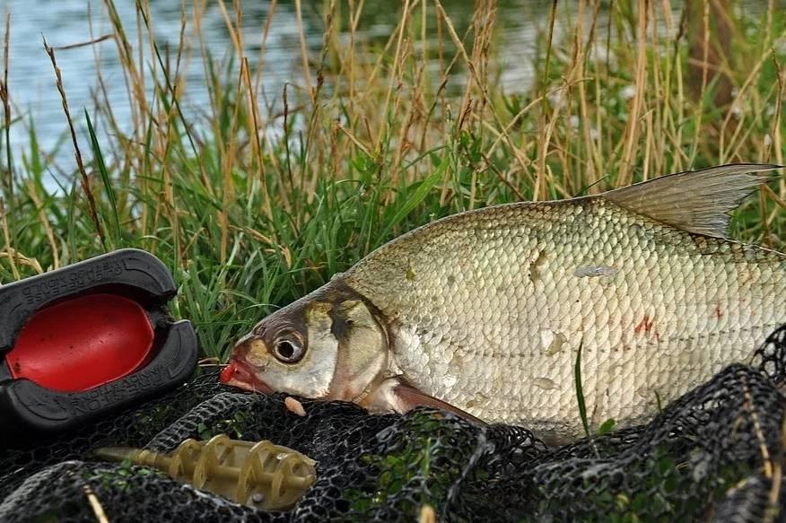 Ловля толстолобика весной: снасть и особенности ловли
