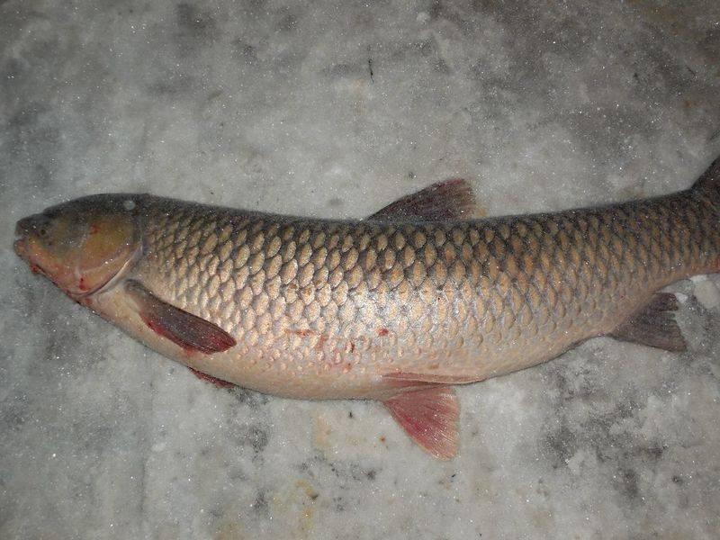 Белый амур. описание рыбы, повадки, особенности ловли.