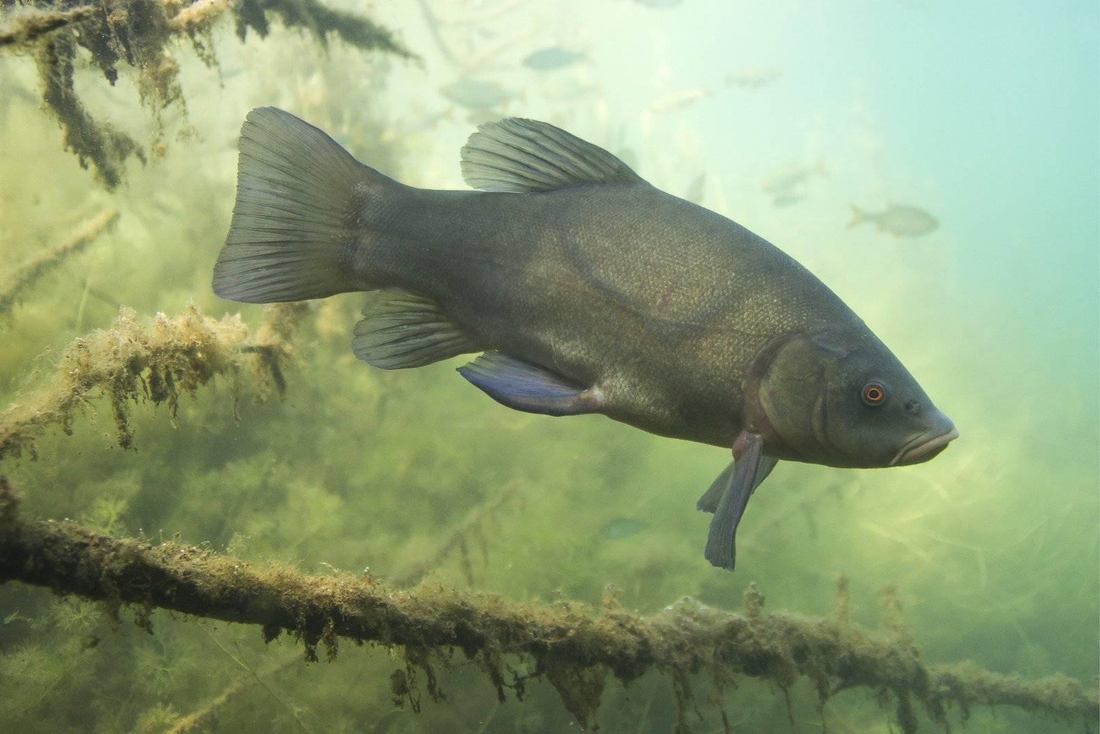 Линь рыба: на что клюет, как выглядит, где обитает