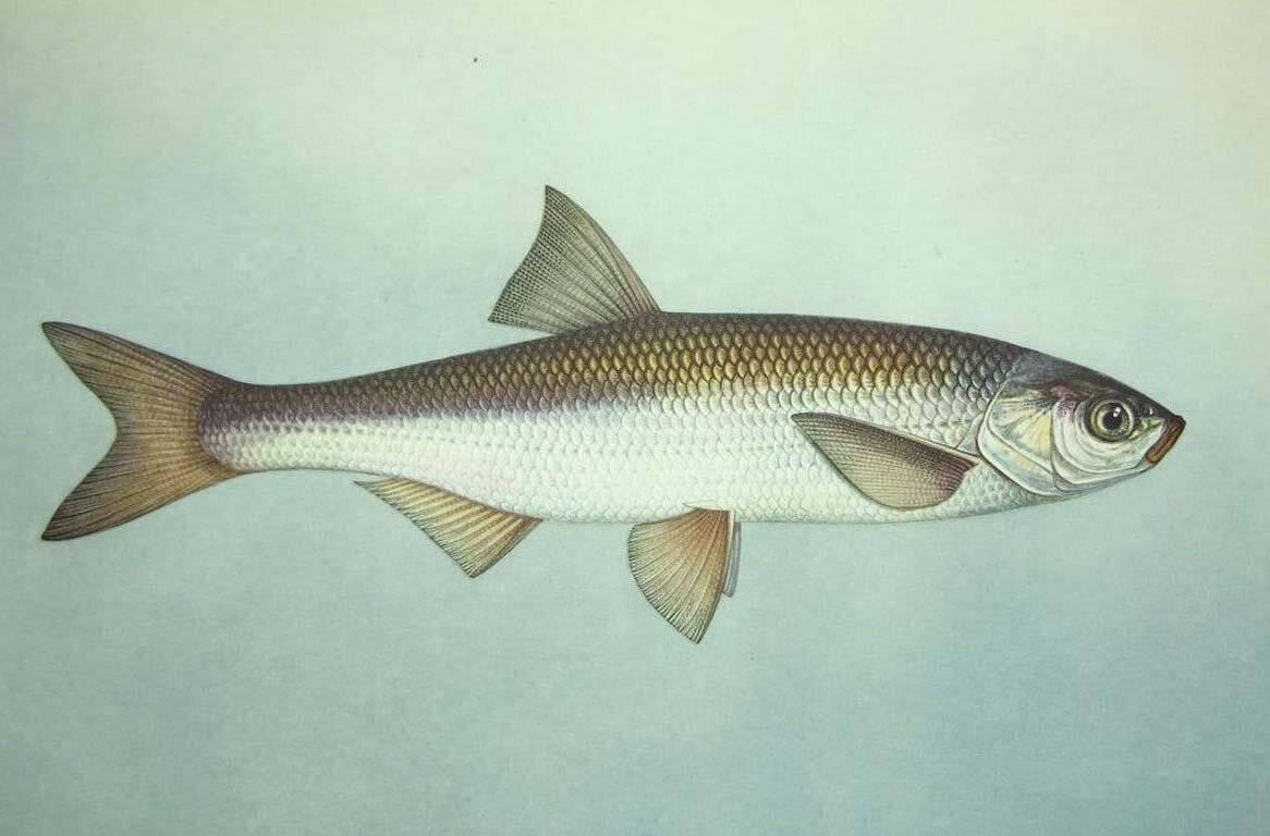 Рыба шемая или шамайка