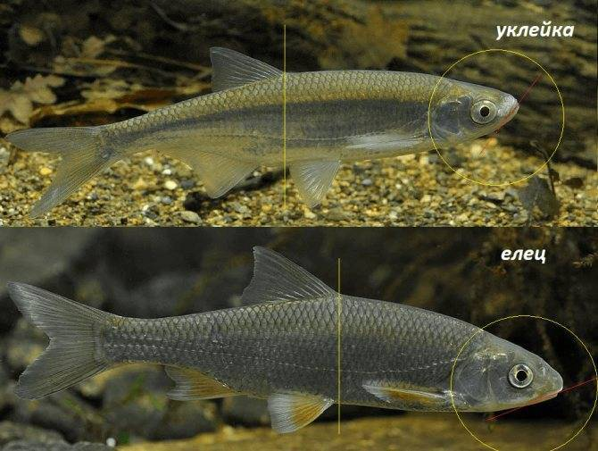Рыба елец вкусовые качества — ловись рыбка
