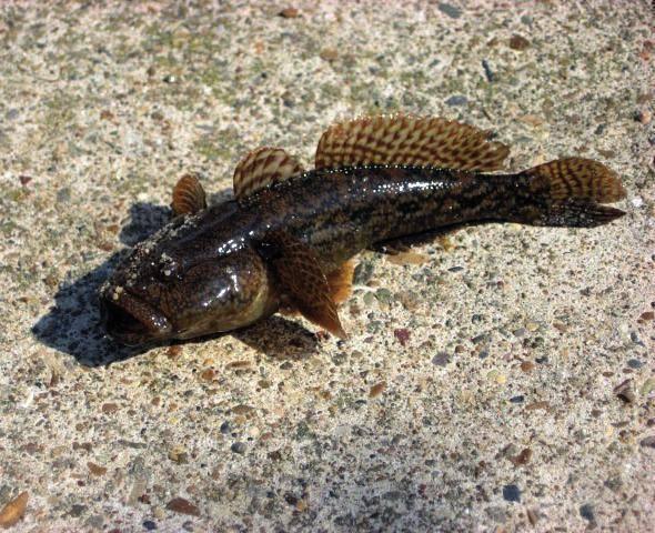 Подкаменщик обыкновенный описание. рыба подкаменщик: за что она получила свое название? внешний вид и морфология