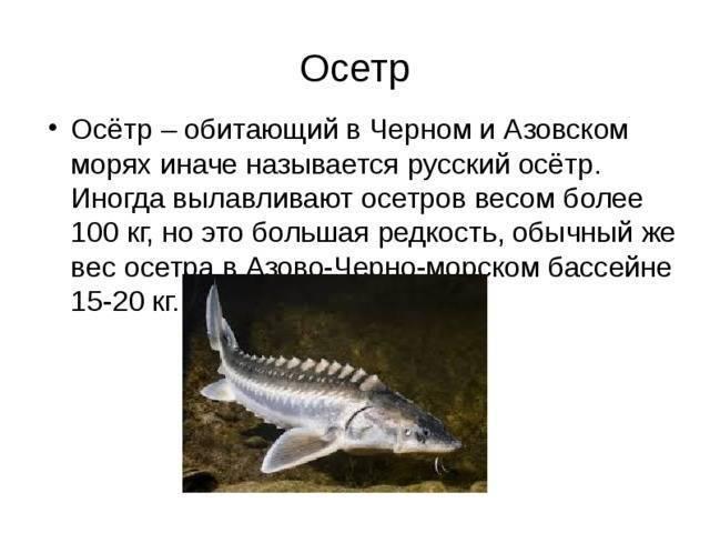 Осетр в духовке на поварёнок.ру