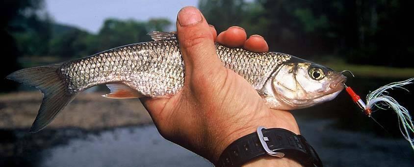 Язь – как выглядит рыба и места обитания, костлявая или нет, отличие от голавля, полезные свойства и вкусовые качества