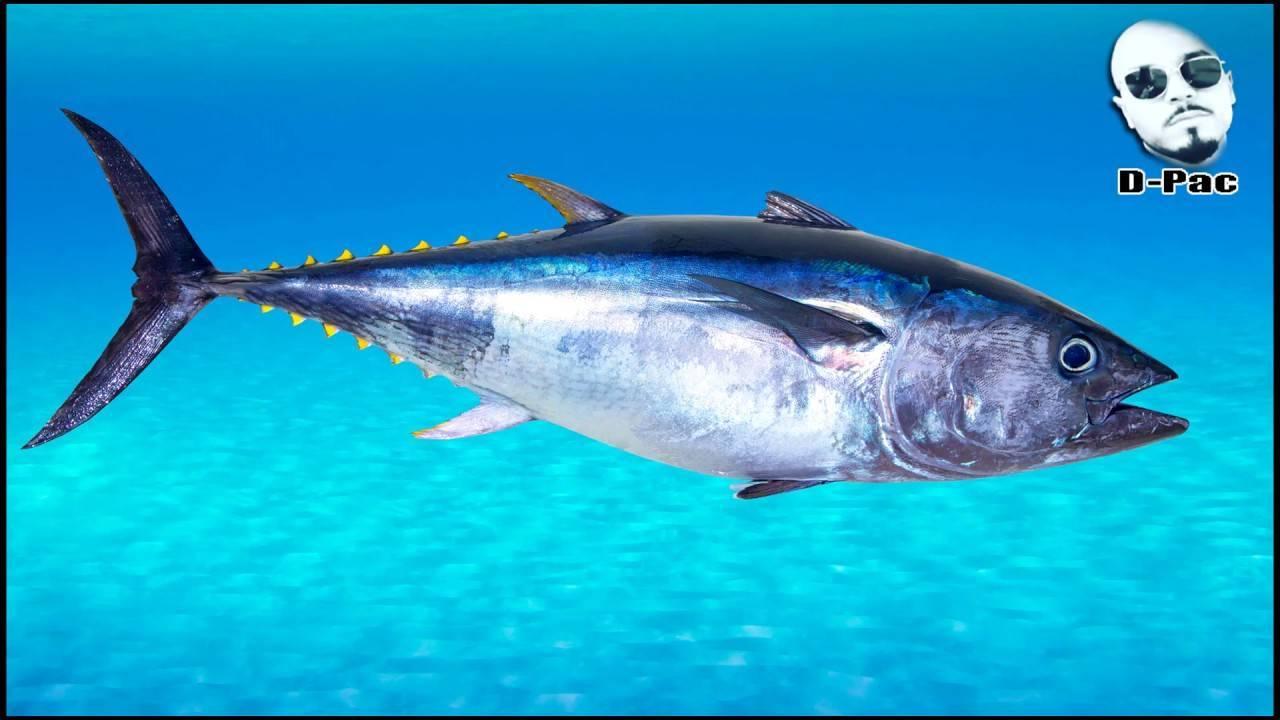 Ловля рыбы пеламида на спиннинг: способы и места ловли рыбы