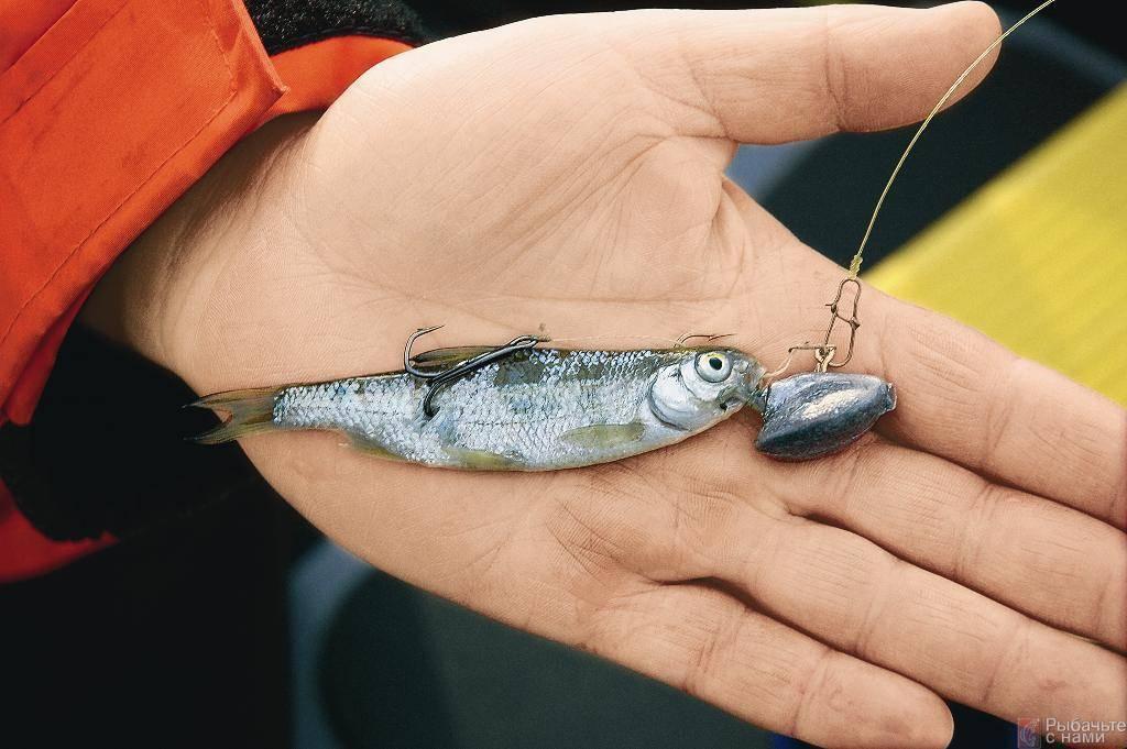 Ловля живца летом и зимой: 10 способов поймать живца - рыбколов!