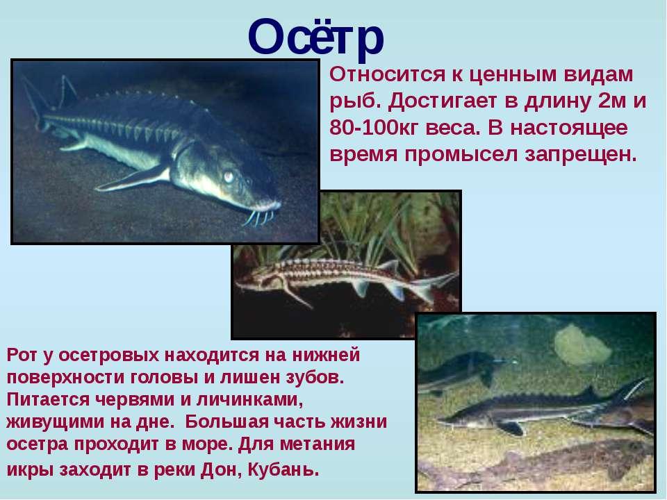 Русский осётр — википедия