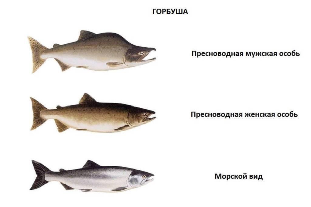 ✅ рыба горбуша полезные свойства - nlifegroup.ru