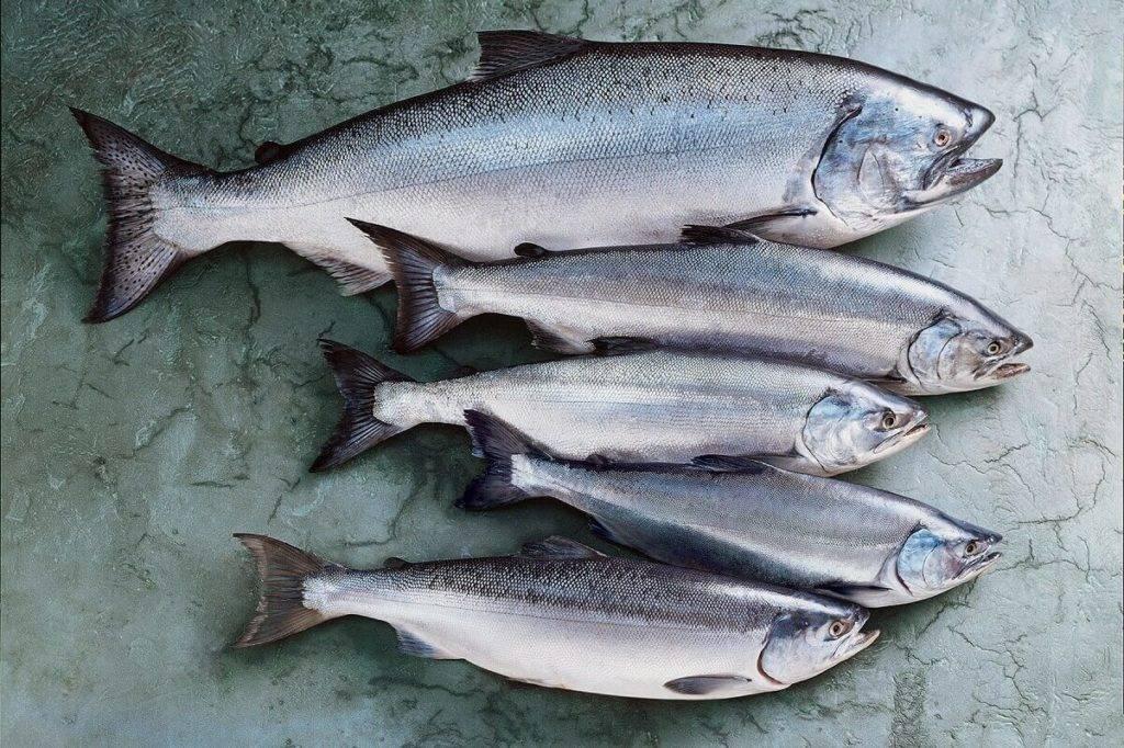 Рыба кижуч: отзывы о ловле, польза и вред, состав, калорийность