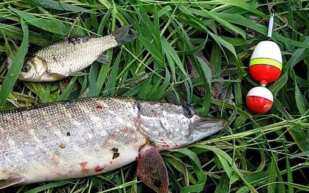 Ловля щуки на живца поплавочной удочкой с берега