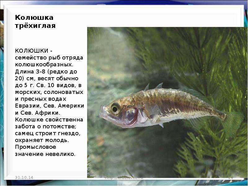 Рыба «Колюшка трехиглая» фото и описание