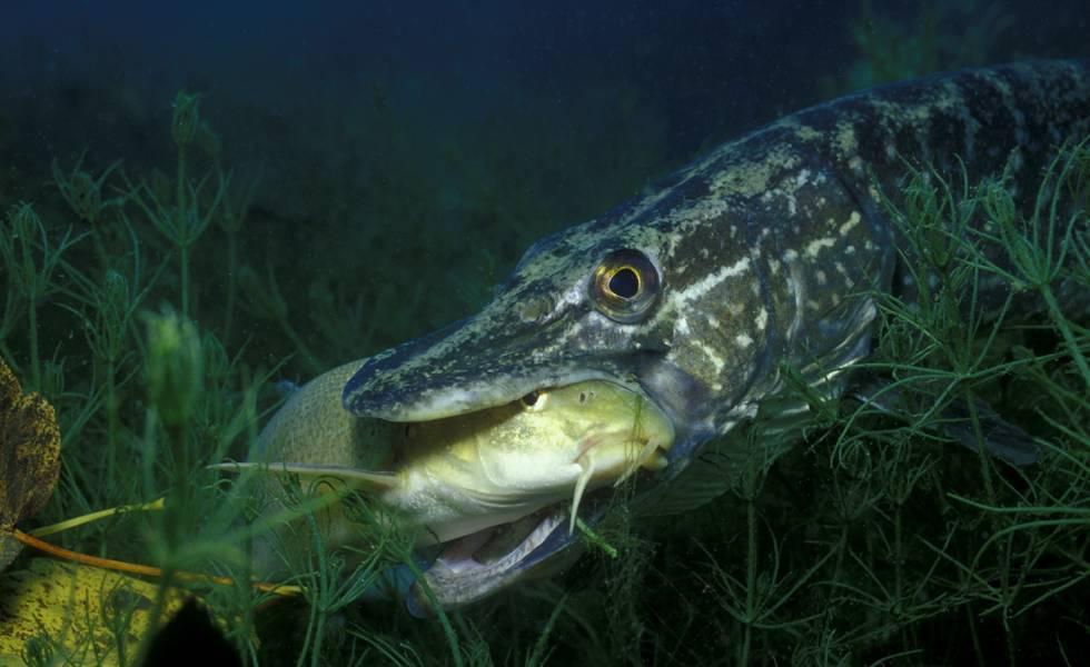 Где обитает ичем питается рыба щука