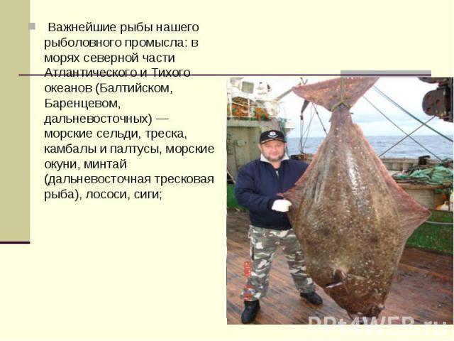 Рыба палтус — описание, польза и возможный вред для организма