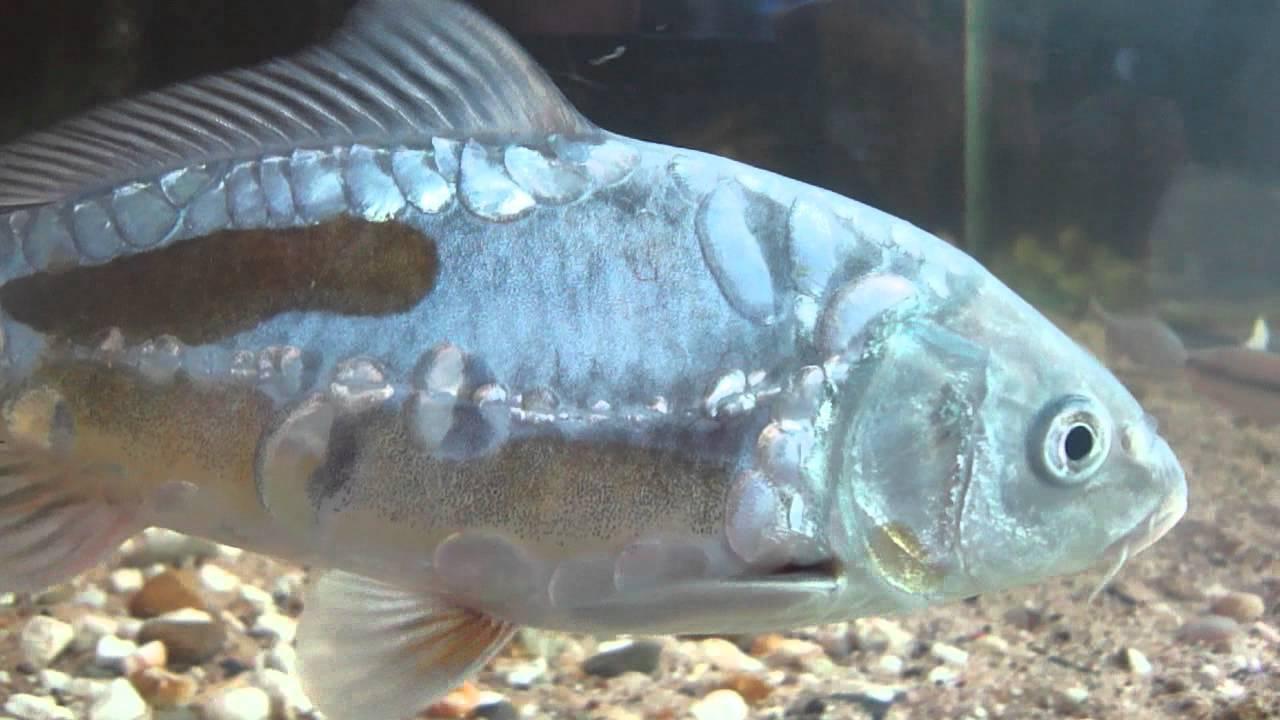 Список-каталог аквариумных рыбок: по алфавиту, с фото и ссылкой на описание