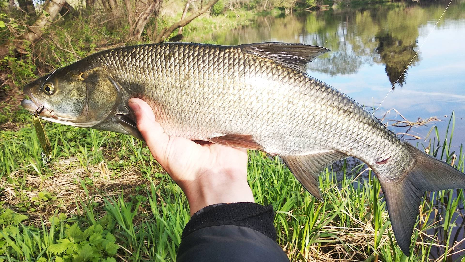 Рыба жерех фото и описание, места обитания • мега рыбак