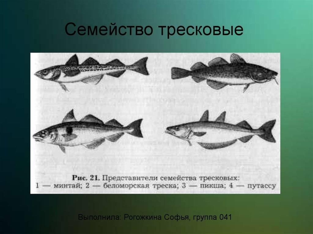 Треска — описание и фото, виды и места обитания, питание и способы ловли