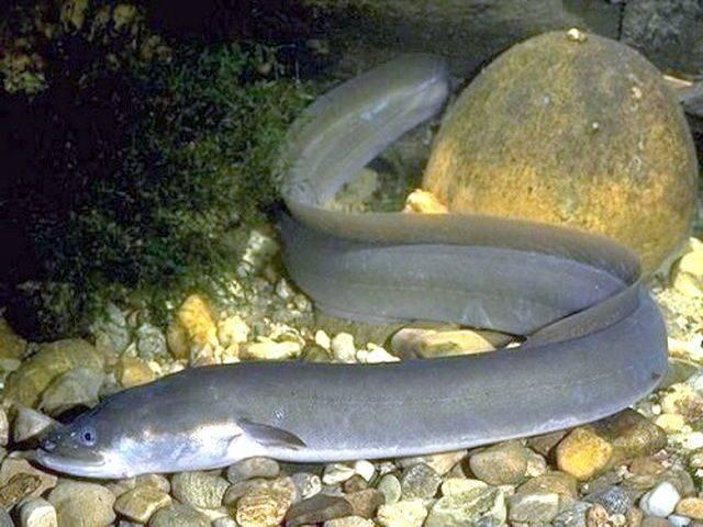 Рыба сом: описание, как выглядит, на что ловить | клёвая рыбалка