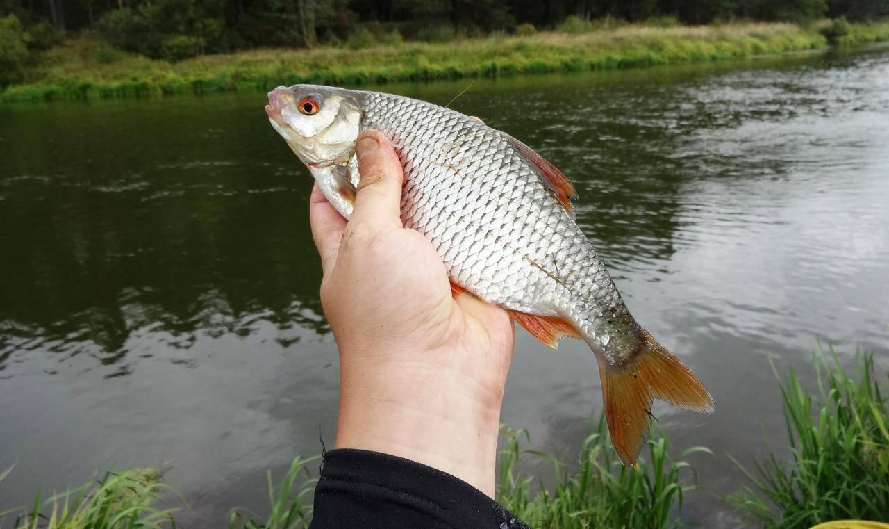 Вобла — что за рыба, описание и образ её жизни