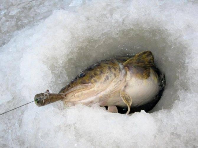 Секреты зимней ловли налима на жерлицы