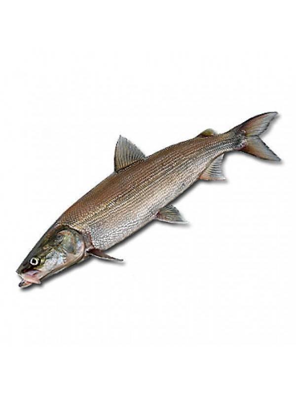 Нельма: полезные свойства рыбы