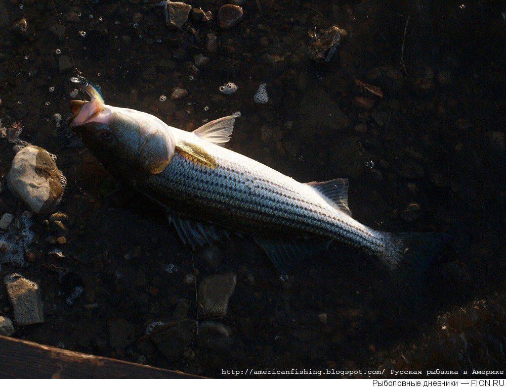 Как поймать лаврака (сибаса) в средиземном море израиля - виды снастей, наживки, тактика ловли | все о рыбалке в израиле