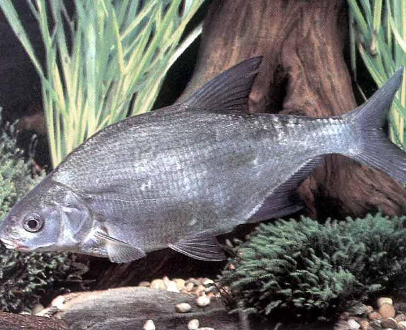 Рыба красноглазка: фото, где водится, описание, среда обитания