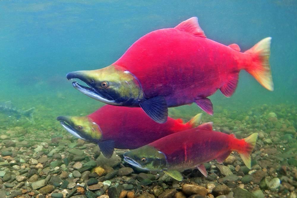 Нерка — как выглядит и где водится эта рыба, за что ценится, в чём польза её мяса для человека