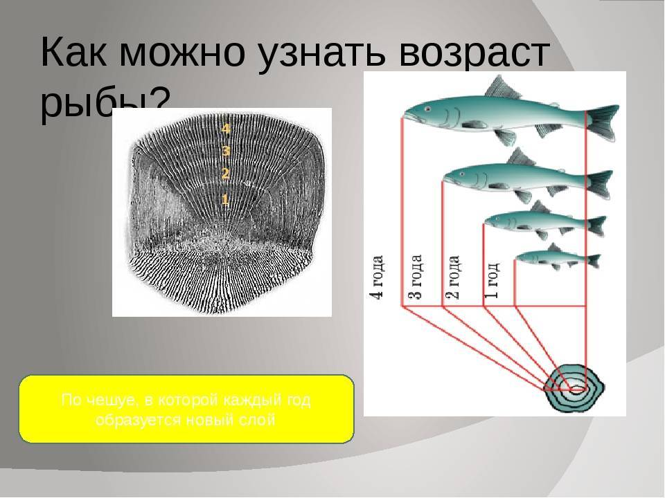 Возраст и размер рыбы - статьи о рыбалке