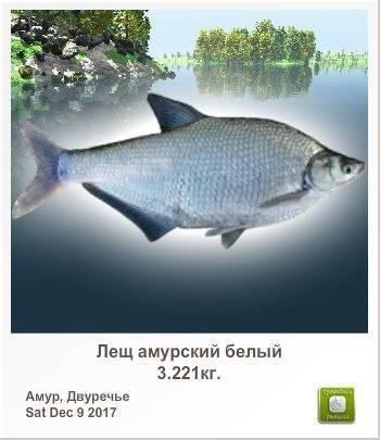 Рыба «Лещ амурский белый» фото и описание