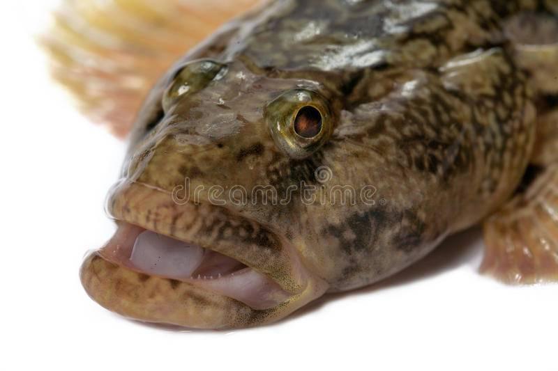 Рыба ротан: описание, самый большой, как приготовить, польза и вред