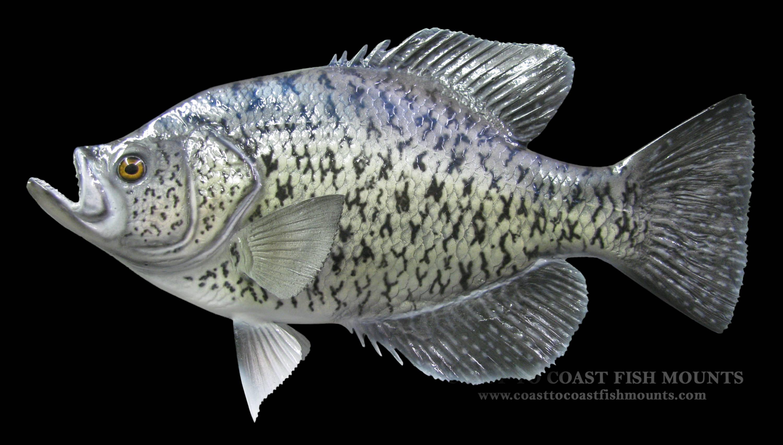 Рыба «Калико басс» фото и описание