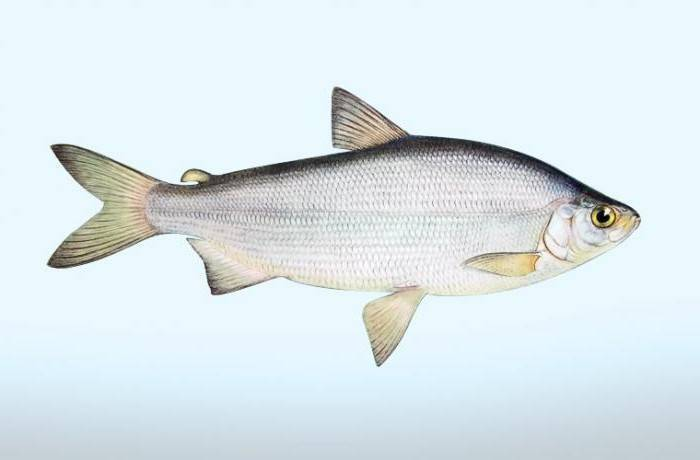 Пелядь | фото, виды рыб, ареал обитания, образ жизни и способ ловли