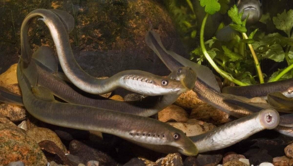 Минога рыба. образ жизни и среда обитания миноги | животный мир