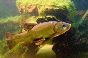 Доктор скрасными глазами. зачем линя разыскивают другие рыбы
