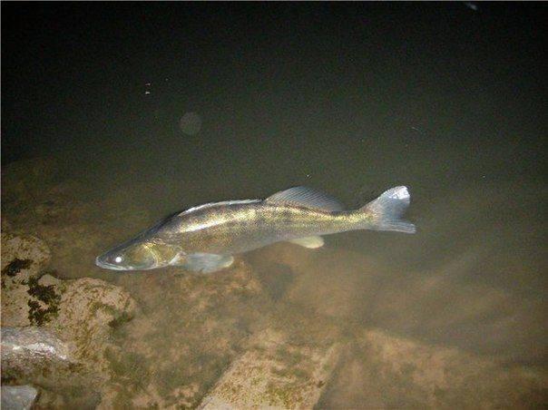 Судак рыба. образ жизни и среда обитания судака | животный мир