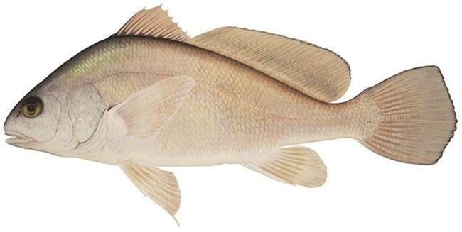 Рыба горбыль (мусар) - описание, как, где и на что ловить в израиле (white seabass) | все о рыбалке в израиле