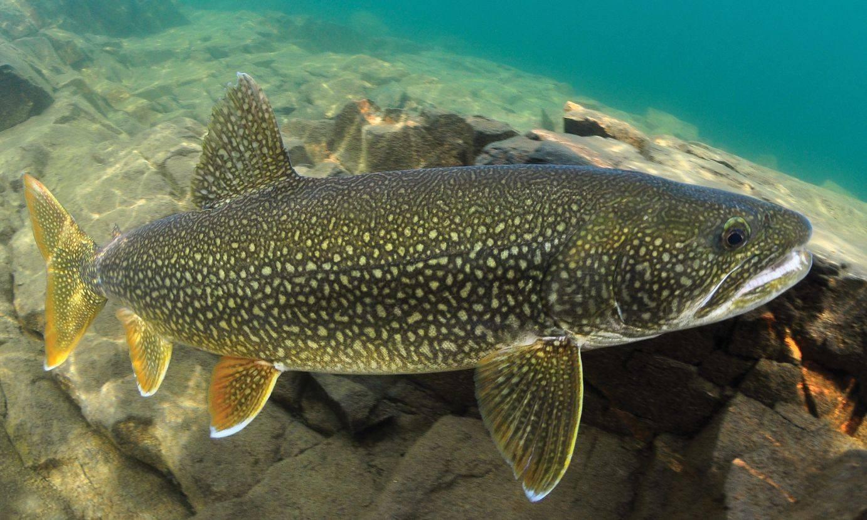 Рыба форель: (описание видов, образ жизни, среда обитания форели)