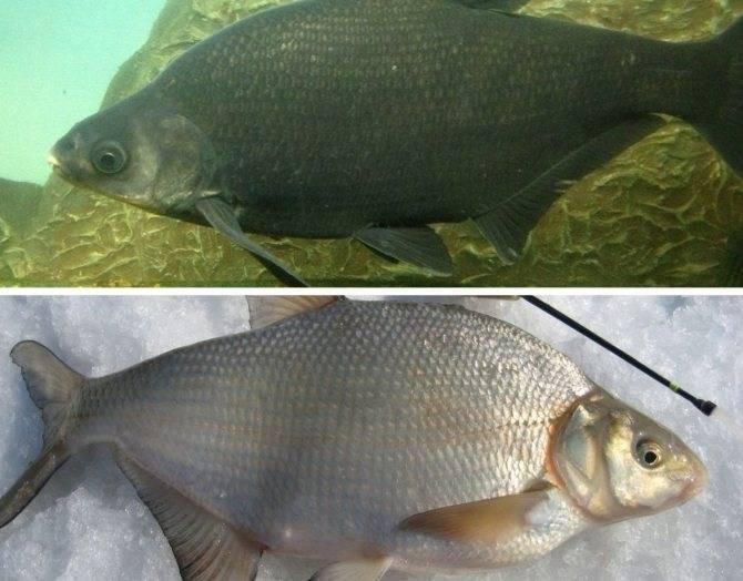 Лещ — описание рыбы, места обитания и повадки