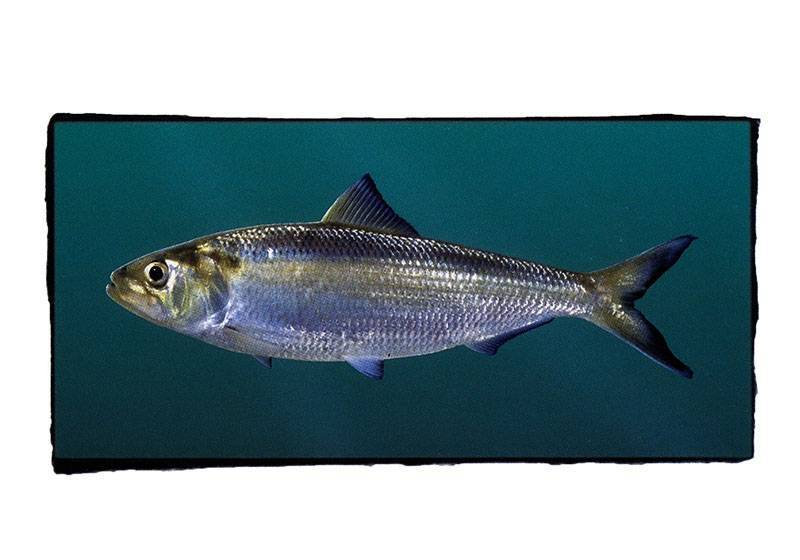 Рыба хек: фото и описание, где водится, среда обитания
