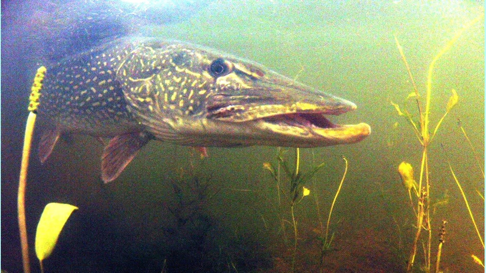 Поймать щуку таких размеров мечтает каждый рыбак