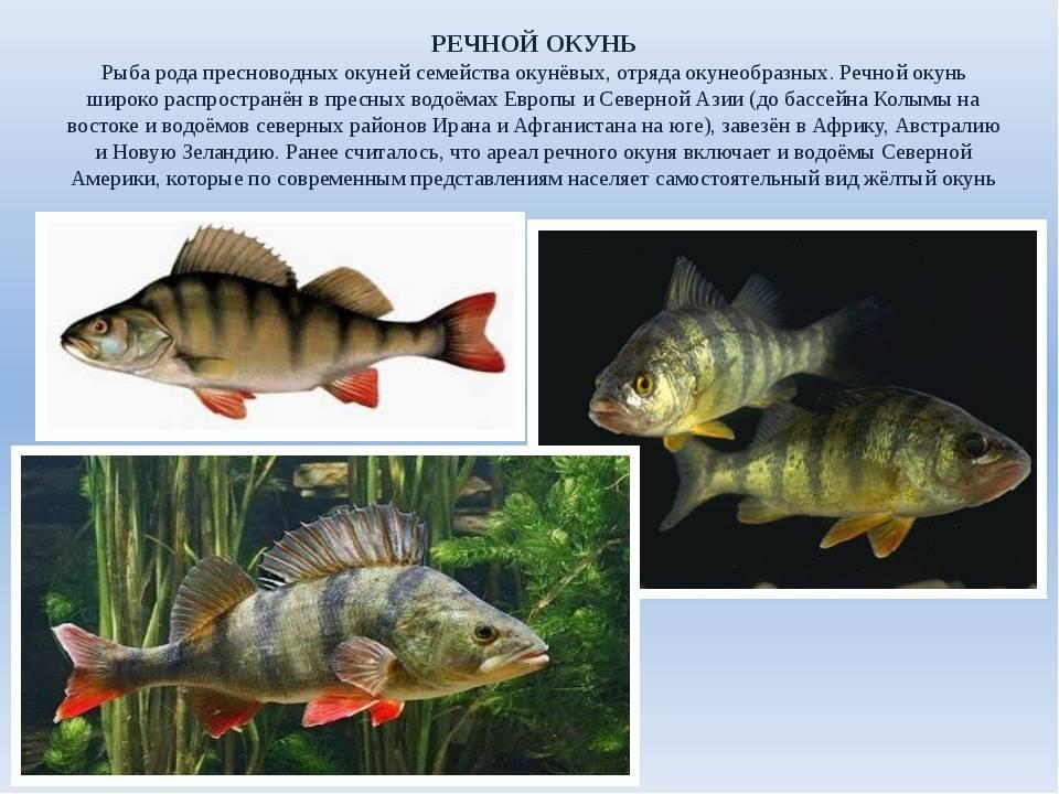 Паразиты и болезни речной рыбы опасные и заразные для человека