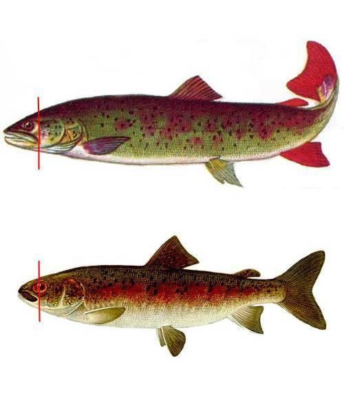 Как живёт таймень-рыба