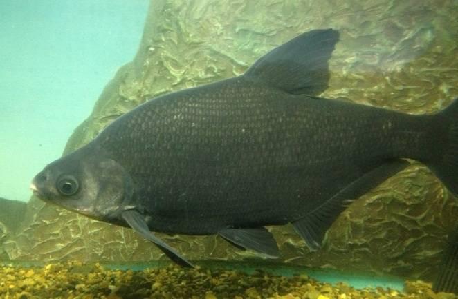 Рыба «Лещ амурский чёрный» фото и описание