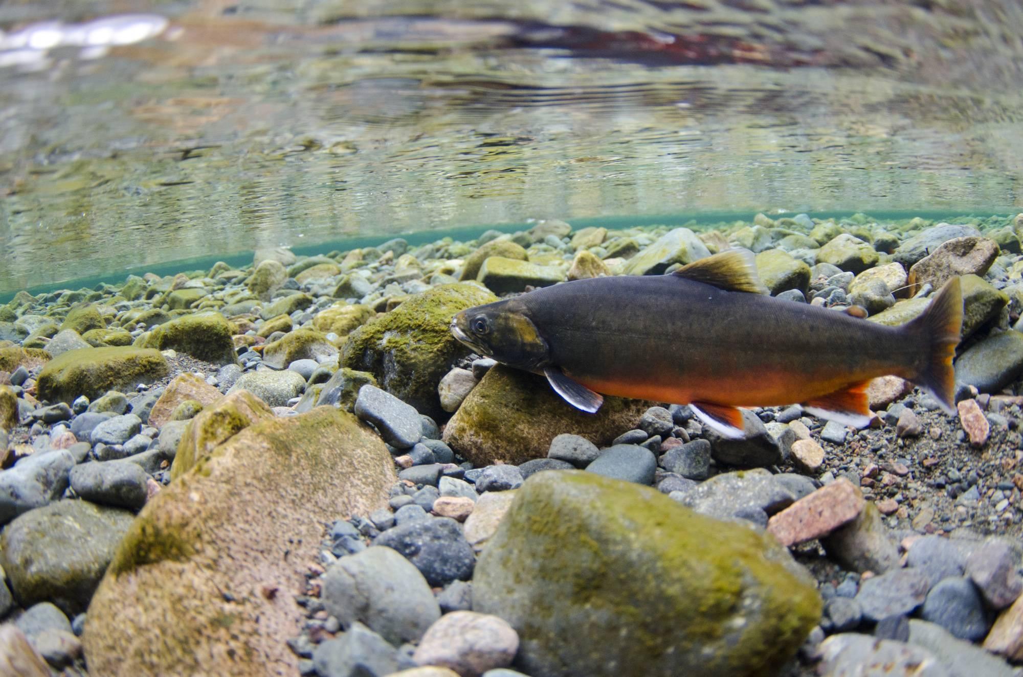 Рыба голец: описание, польза и вред, как лучше его приготовить