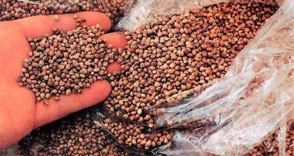 Как сделать прикормку из семян конопли для рыбалки?