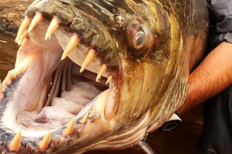 Большая тигровая рыба | мир животных и растений
