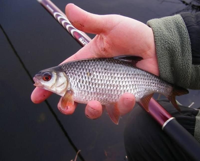 Плотва осенью: места ловли, снасти и секреты рыбалки.